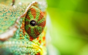 Chameleon-Eye-HD-Wallpaper